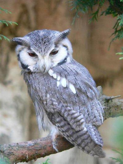 hibou petit duc a face blanche - Blog de animauxdumonde860